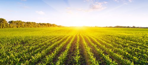 Potassium humate effect on crops to
